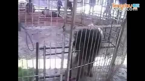 藏獒和老虎打架视频 视频 免费在线观看 360影 高清图片