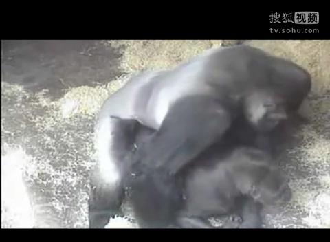动物世界搞笑吐槽性行为之巨无霸黑猩猩动物园繁殖