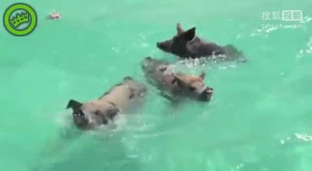 【实拍】可爱小猪下海冲浪 调戏比基尼美女