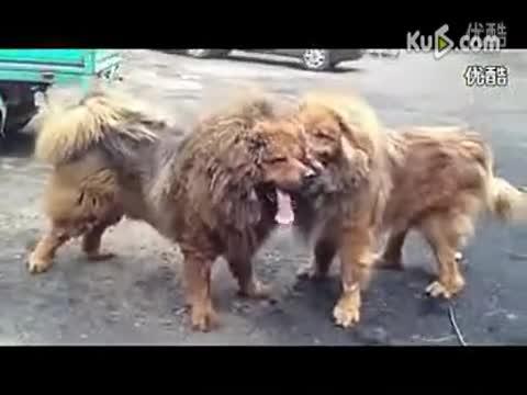 藏獒打架视频咬死狮子 藏獒图片 3只只藏獒与老虎打架 世高清图片
