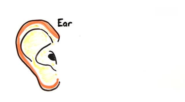 耳朵中的毛细胞负责听取不同频率的声音,然后再将信号传输给大脑.